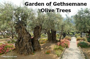 2014 Garden-of-Gethsemane-olive-trees-bibleplaces