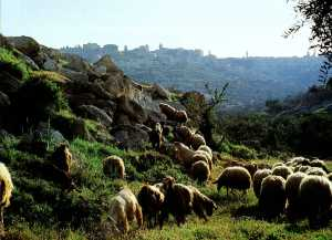 Sheep at Bethlehem